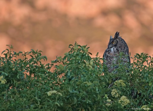 The Great Horned Owls are active every night calling from one part of the arroyo to the other