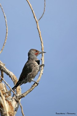 Northern Flicker on his dead yucca flower branch