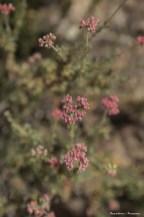 Buckwheat(?)