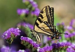 Western Swallowtail