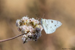 Cabbage White-Pieris rapae