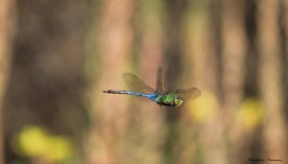 Giant Darner-In flight!