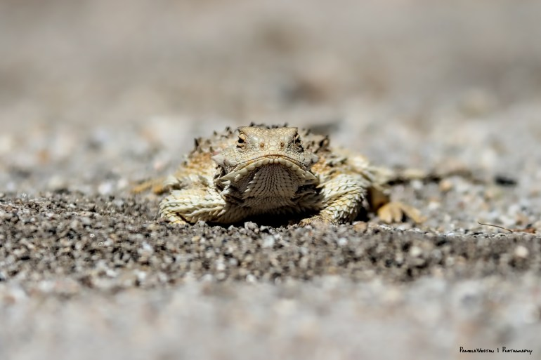 Desert Horned Lizard:) what a grumpy face!