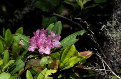 Wild Azaleas on the park road