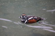 The Mr. Harlequin Duck