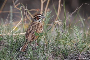 Beautiful Lark Sparrow foraging on the Badlands Trail