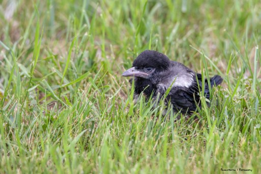 This small juvenile Magpie was on the ground. The parents were close by watching and feeding it, it could fly so short hops so it was just a matter of time!