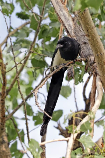 Mother Magpie looking on at her child on the ground.