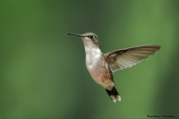 Ms. Ruby Throated Hummingbird
