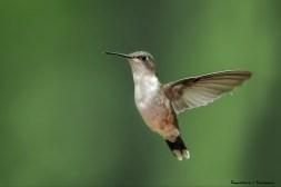 Ms. Ruby Throated Hummingbird