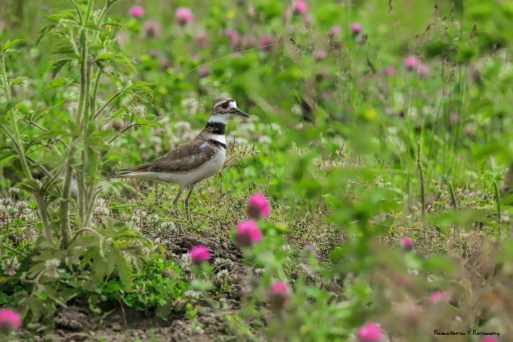 A Killdeer among the wildflowers