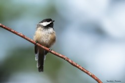 A Chickadee fluffs up against the cool morning air