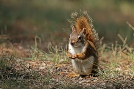 These guys rule, they are half the size of the black squirrels