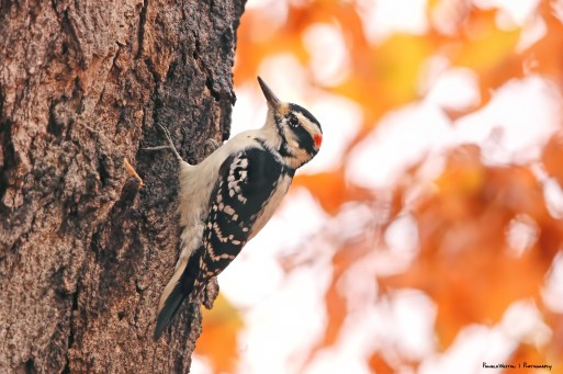 Mr. Hairy Woodpecker