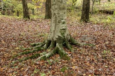 Beautiful tree roots, like an animals foot!
