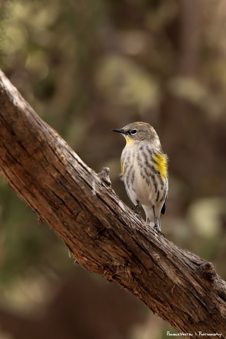 Blowing in the wind-Yellow rumped Warbler