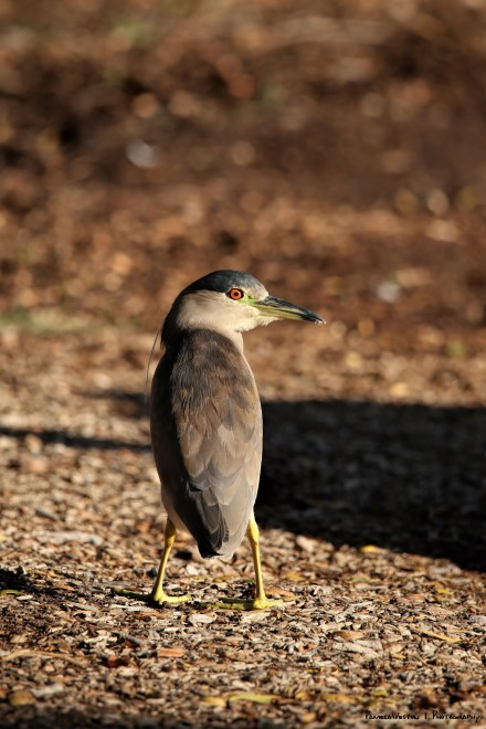 Black Crowned Night Heron, a bow legged variety:)