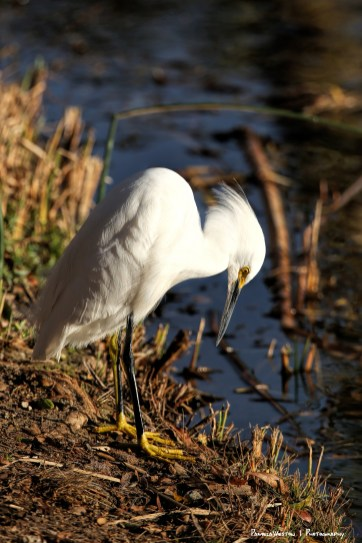Yes, my gosh, my feet are very yellow! Snowy Egret