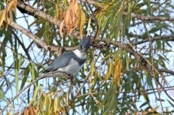 The elusive Kingfisher