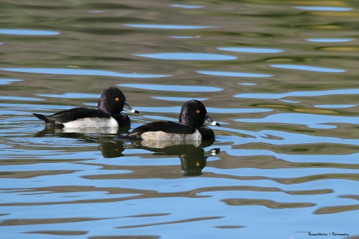 Ring Necked males