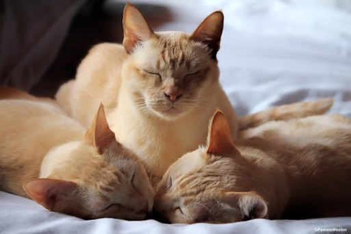 Our three beautiful old Burmese, Only Beezil is still with us