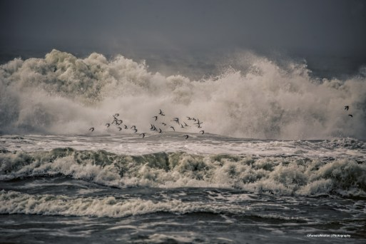 Flock of Whimbrels dodging the waves
