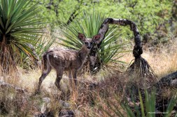 Coues deer in the Madera Canyon
