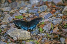 Pipevine Swallowtail(?)