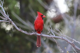 Beautiful Cardinals singing in the bushes