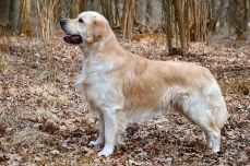 Golden Retriever enfp