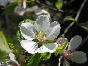 cherry plum waanzin controleverlies psychose