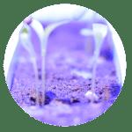 plante OGM