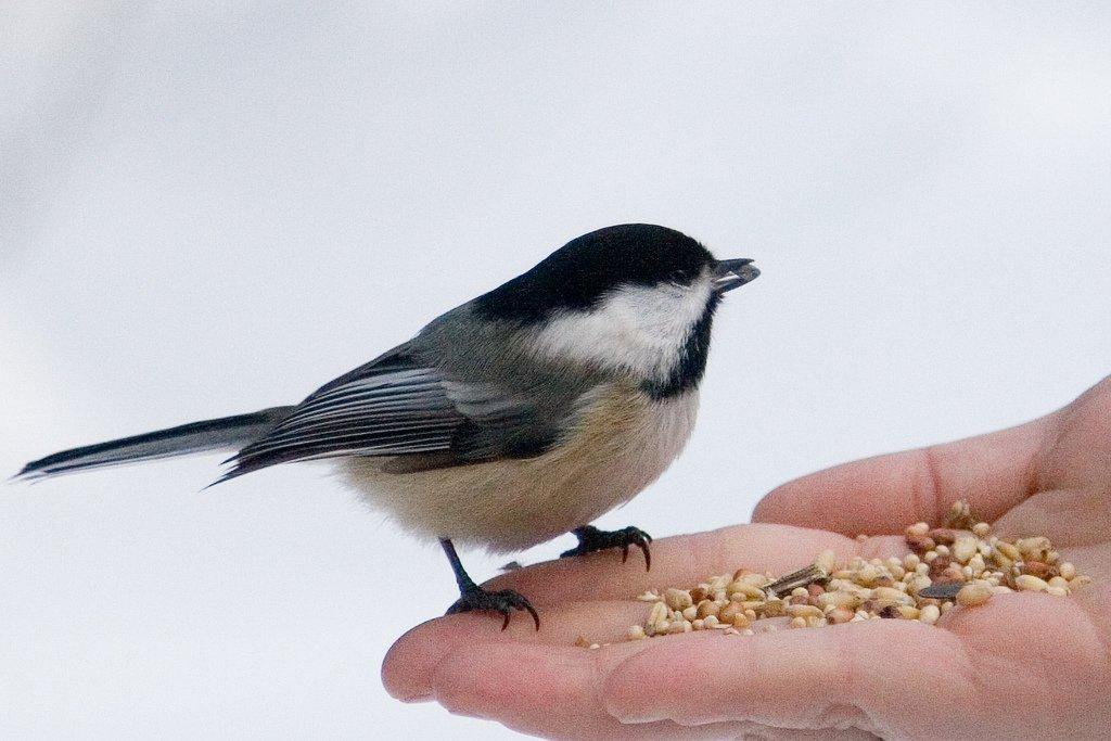 Comment Aider Les Oiseaux Survivre En Priode Hivernale