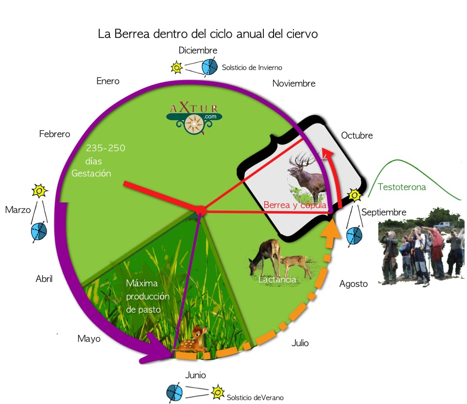 guia berrea en Asturias. Duración de La Berrea del Venado en los Picos de Europa