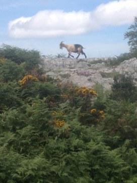 Cabra en el Valle de Angón