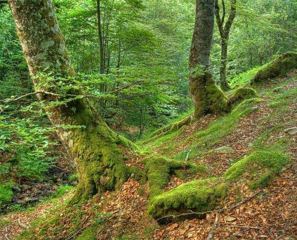 Cangas de Onís, Bosque de Peloño