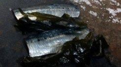 sardina_6-300x168