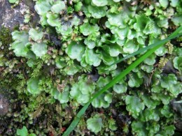 IMG_5005Liverwort and moss (640x480)