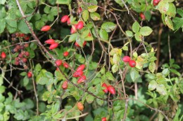 Dog-rose-hips (Rosa canina)