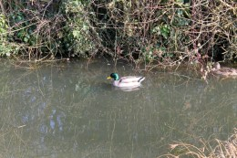 Mallards in the front ditch