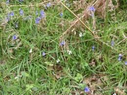 Blue bluebells and white bluebells!