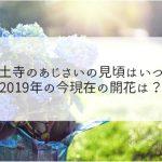 本土寺のあじさいの見頃はいつ?2019年の今現在の開花は?