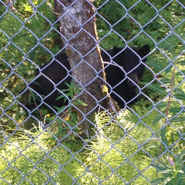 Backyard Bear
