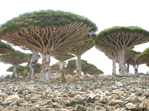 Dracaena cinnabari - Isla de Socotra