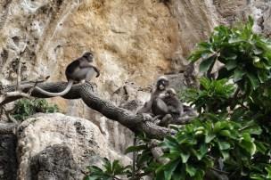 Macacos em Tonsai