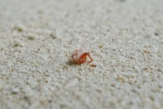 Micro carenguejo