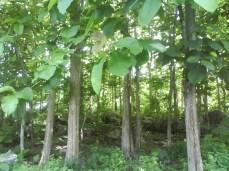 Pohon Kayu Jati