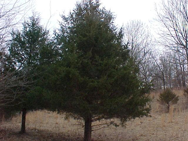 Pohon Kayu Cedar