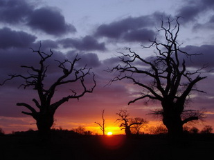gambar-siluet-dua-pohon-bachground-sunrise