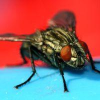 Entomolodzy ostrzegają przed tajemniczym wirusem. Muchy zaczęły padać jak muchy